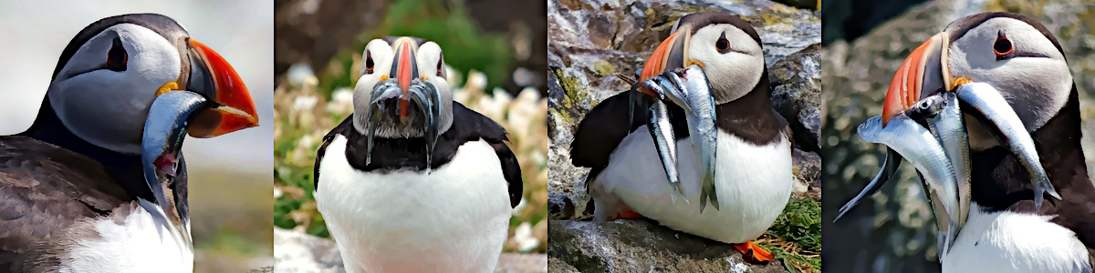 puffins with fish in their beaks